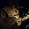 Female Leopard - Tanda Tula