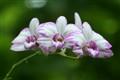 Orchid triplet