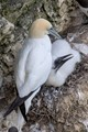 Gannet  Parent  (Morus bassanus) and young.