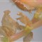 Begonia Leave 3