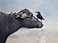 Buffalo in Nepal