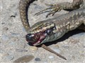 dead_lizard