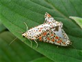 Heliotrope Moths