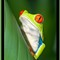 Red-eye Tree Frog