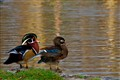 WoodDuck-Male-Female