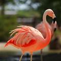 American Flamingo [P.ruber]