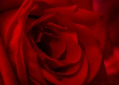 2012-Rose