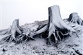 Stumps, Mt St Helens, ice storm