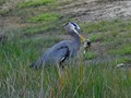 The Heron caught a good sized bass and stabbed it many times before it swallowed it.  From Estero Florida.