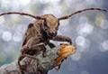 Flat-Faced Longhorns (Lamiinae)