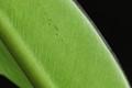 The Green Banana