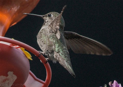 Hummingbird Friday 1 ....Balancing act