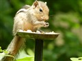 Indian Squirrel