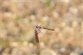 Golden Dragon (fly)