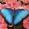 Blue Morphos_00044