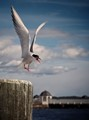 Common tern photo Roger Jansson ROJA