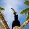 2013-05-18 PS Malaysia Pangkor Island Oriental Pied Hornbill 1