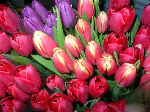 Tulips 2-23-13