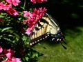 A Beautiful Swallowtail