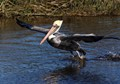 An adult brown pelican jumps off while fishing in the salt marsh.