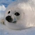 seal_0986