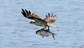 Osprey with a bass
