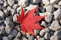 Autumn Maple Leaf
