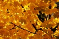 backlit yellow maple leaves