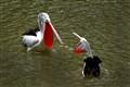 Pelican Battle