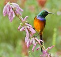 2018 Orange Breasted Sunbird