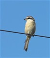 Brown Shrike on a wire