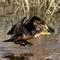 Cormorant Jumps Off