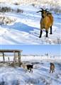 Alpine-Nubian Goat