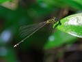 blue forest damsel (female)