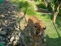 Lone tiger..