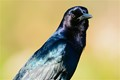 Boat-tailed grackle up close