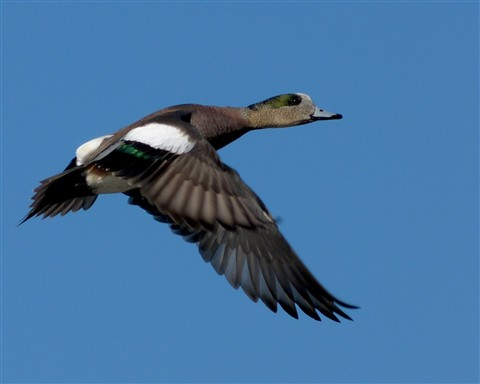 Widgeon 1 122811