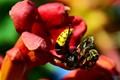 hornet eating bee