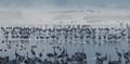 Cranes before sunrise