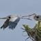 Viera Herons