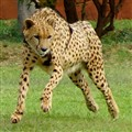Flying Cheetah