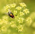 Fly on parsley