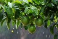 Wet Passion Fruits