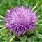 Thistle flowerhead