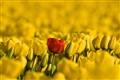 Outstanding Tulip