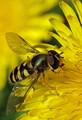 Hoverfly Camuflage