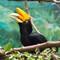 Rhinoceros-Hornbill