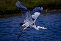 Great Blue Heron-4156