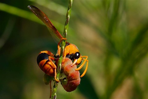 Orange Potter Wasp - Eumenes latreilli FAMILY VESPIDAE