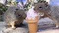 Two Rock Squirrels eating Ice Cream